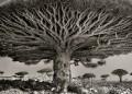 Най-древните дървета в света