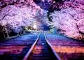 Цъфналите вишни в Япония