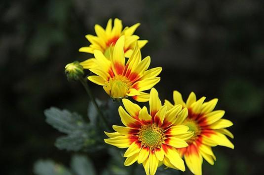 chrysanthemum-178720_640