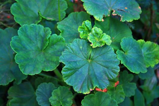 green-leaves-585688_640