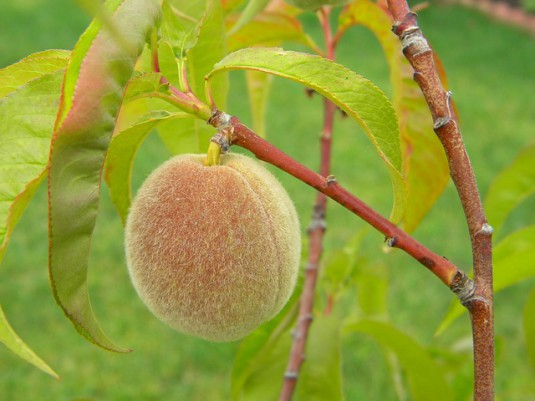peach-432579_640