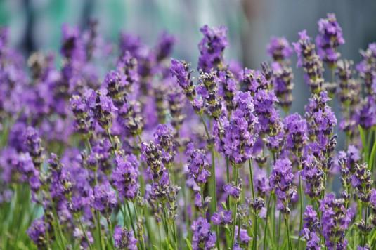 lavender-456009_640