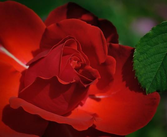 rose-411762_640