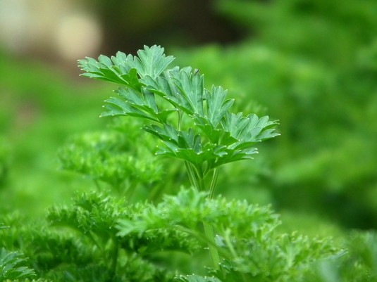 parsley-246557_640