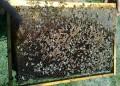 Отглеждат пчели в НДК