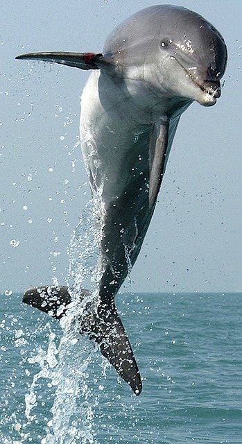 dolphin-704453_640