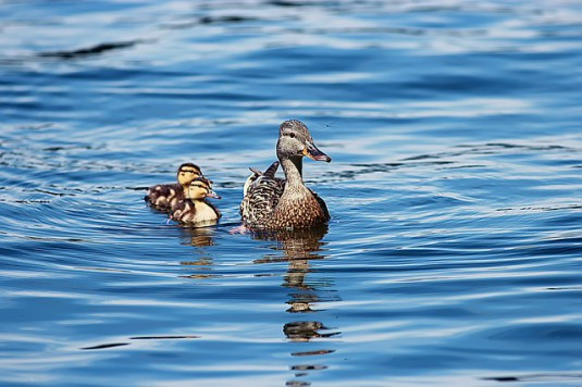 ducklings-453372_640