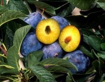 Рецепти за мармалади от сини сливи от 1945 г.