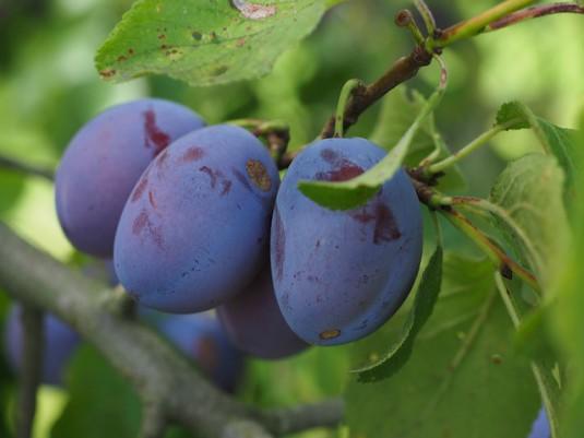 plums-693541_640