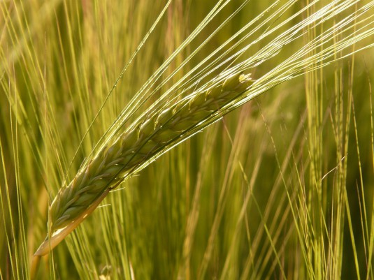 barley-field-8230_960_720