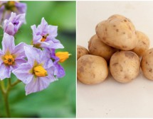Красотата на картофа