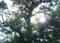 Издириха и описаха 101 вековни дъбови дървета
