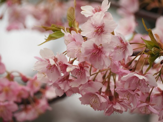 cherry-blossoms-679551_960_720 (2)