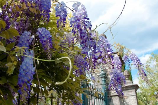 Snimka 10 - Wisteria draping a fence, Borghetto sul Mincio, Veneto, Italy - www.rossiwrites.com