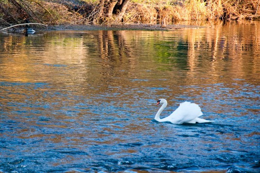 Snimka 9 - Swan on the river Mincio, Borghetto, Veneto, Italy - www.rossiwrites.com