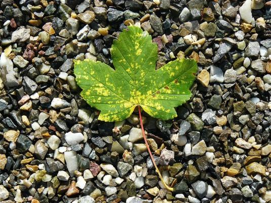 maple-leaf-422582_960_720