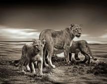 Мъжът Лъв – дайте му публика и обожатели