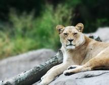Жената Лъв – любовта й с мъжете от различните зодии