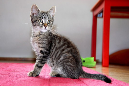 cat-1528745_960_720