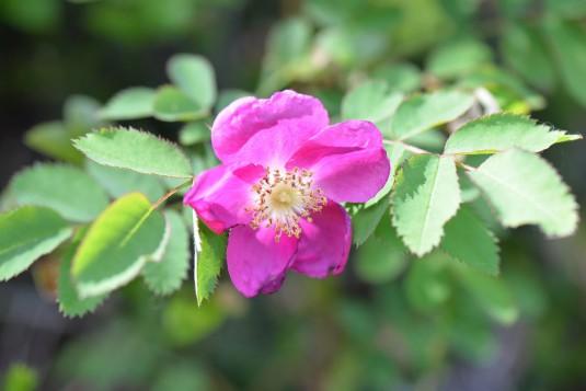 rose-hip-1264339_960_720