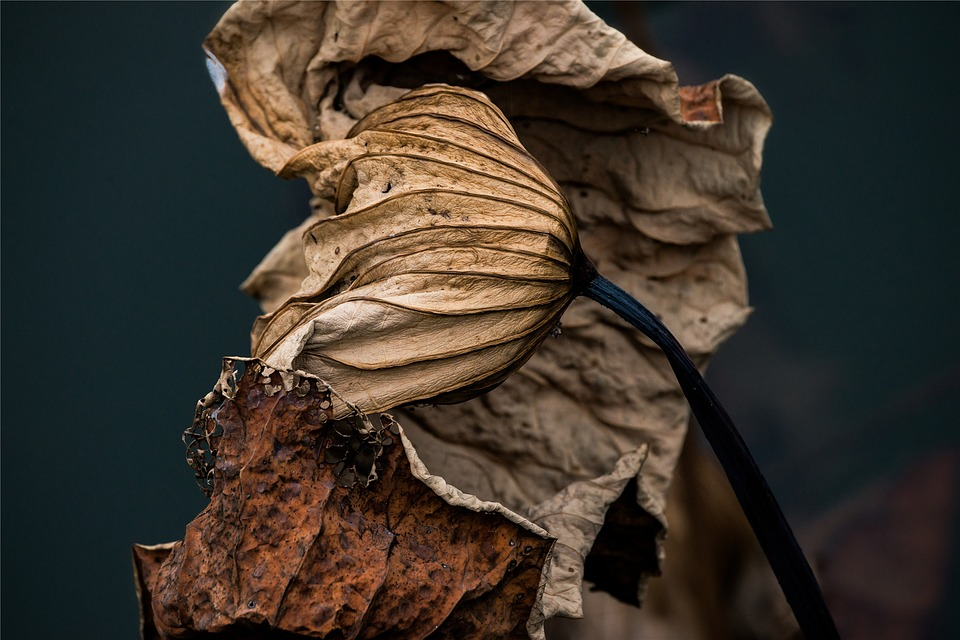 lotus-leaf-1274237_960_720