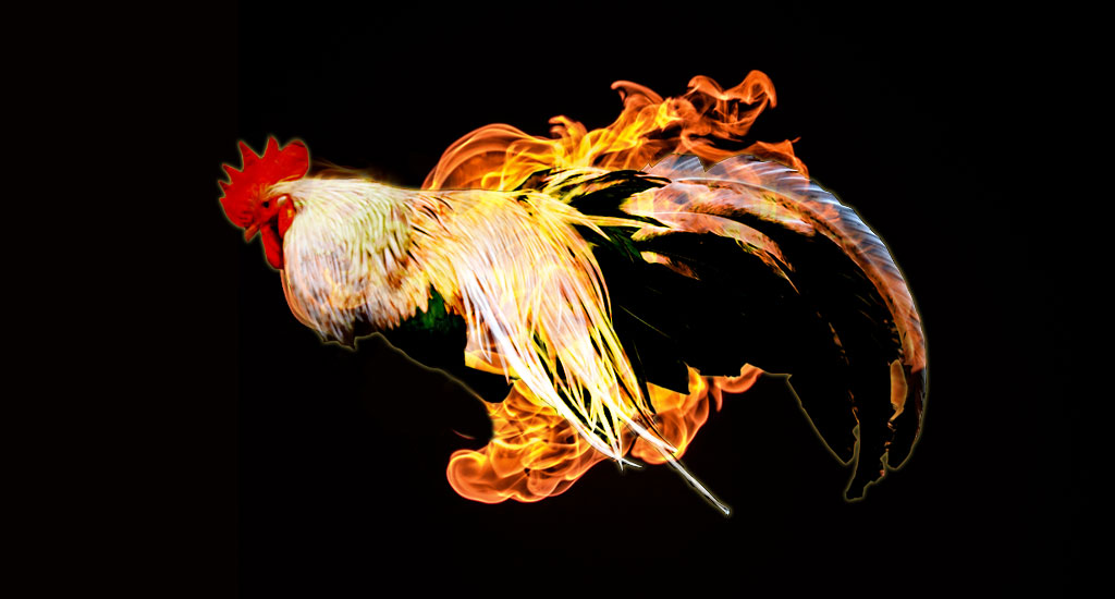 Roosters-on-fire-1