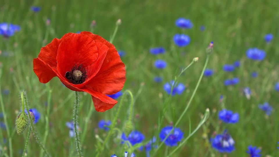 poppy-50590_960_720