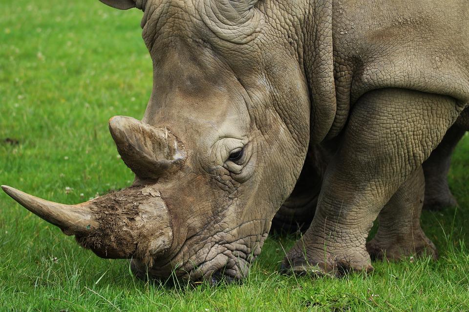 rhino-1575253_960_720