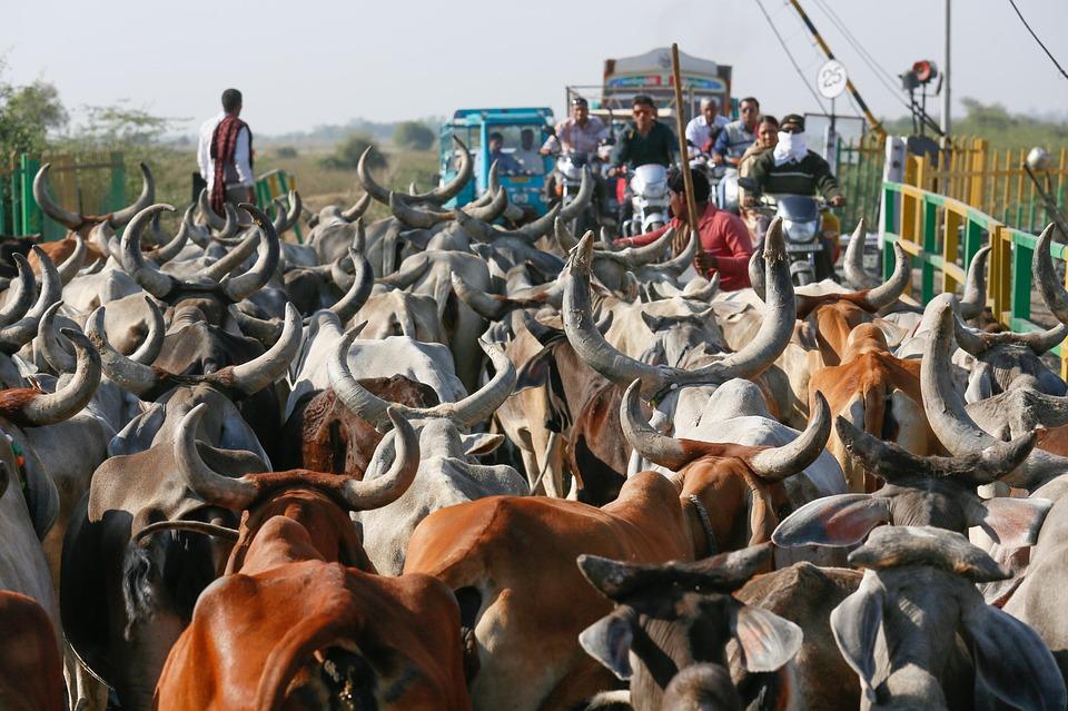cows-1514761_960_720