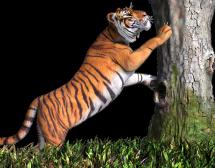 Китайски хороскоп. Тигър в годината на Свинята
