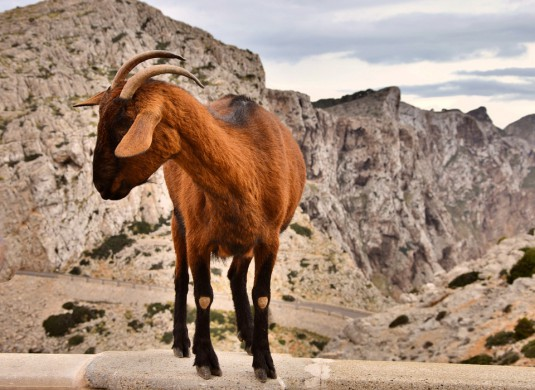 goat-2044143_960_720