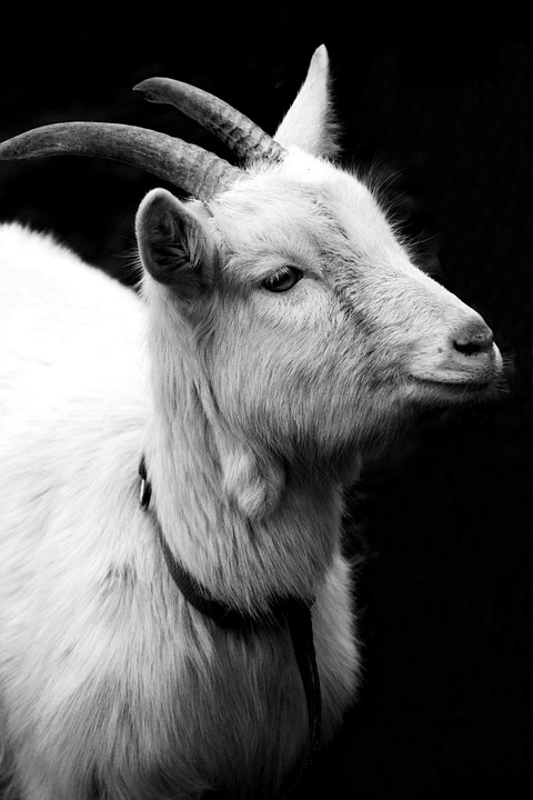 goat-2115305_960_720