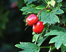 Дивите плодове като храна и лекарство. Рецепти