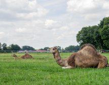 Защо се отглеждат камили в Холандия?