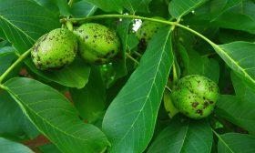Лечебните свойства на зелените орехчета