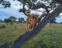 Месец на големите котки по National Geographic WILD
