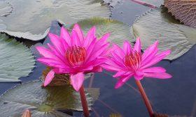 Езерото с розовите лотоси