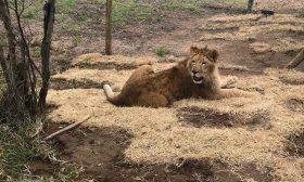 Спасиха 4 лъва, върнаха ги в Африка