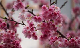 Икигай – японският ключ към дълголетието