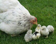 За българите е важно хуманното отношение към кокошките при избора на яйца