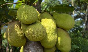 Хлебното дърво е суперхраната на бъдещето