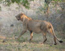 Лъвове в Индия? Невероятно, но има!