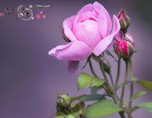 Романтични ли са розовите рози?