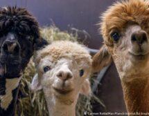 Брита, Нора и Ксения: трите алпаки, благодарение на които може да преборим коронавируса