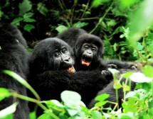 Лице в лице с планинските горили